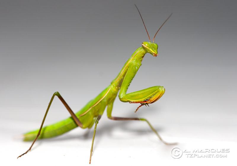 Macro of a Praying Mantis (Mantis religiosa)